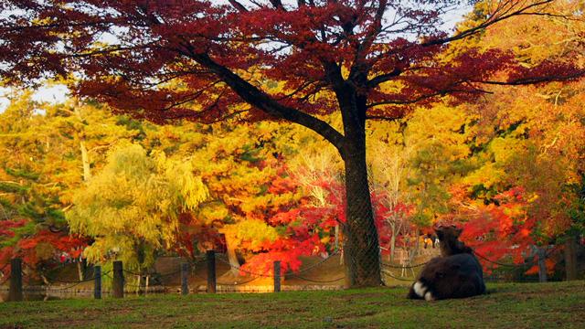 紅葉を眺める鹿
